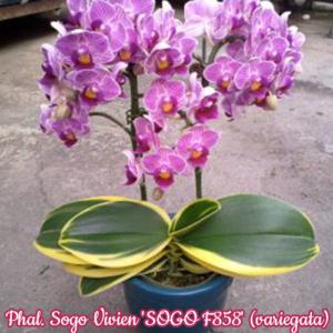 Phalaenopsis Sogo Vivien 'SOGO F858' (variegata)