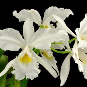 Cattleya warscewiczii var. alba 'Snow Caesar'