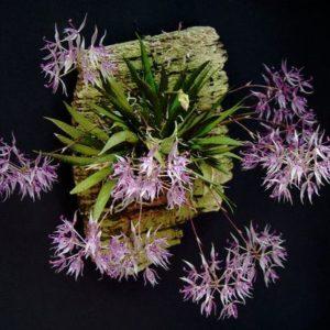 Macroclinium manabinum