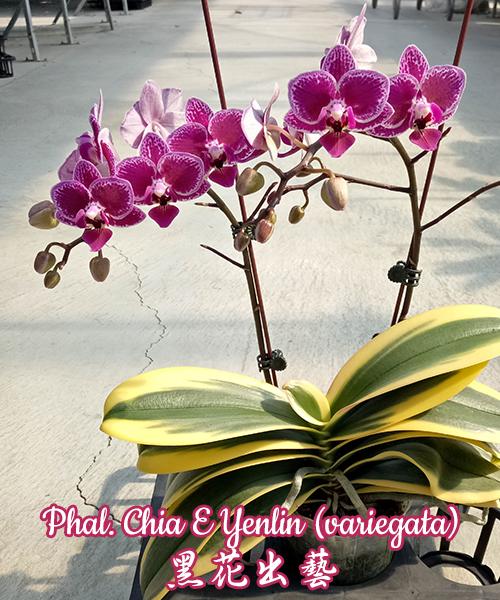 Phalaenopsis Chia E Yenlin (variegata)
