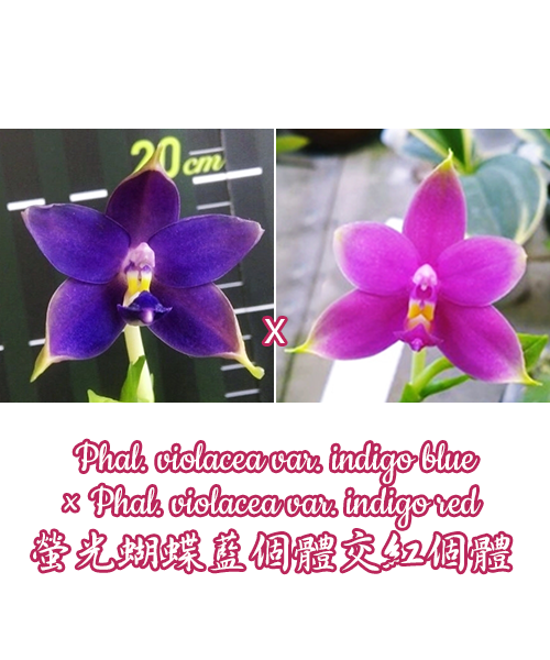 Phalaenopsis violacea var. indigo blue × violacea var. indigo red