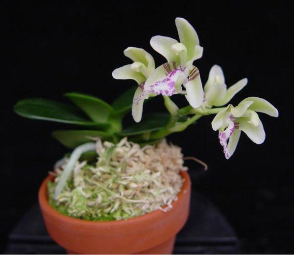 Sedirea japonica 'Daruma'