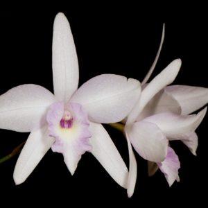 Laeliocattleya (C. Pink Splash x L. rubescens)
