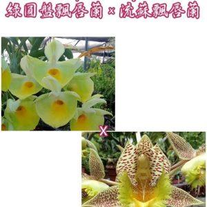 Catasetum pileatum × fimbriatum