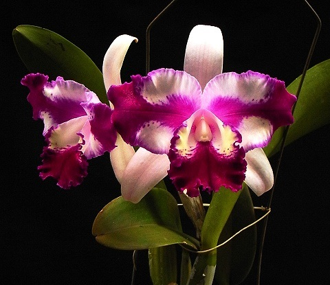Cattleya Taiwan Beauty (c.interglossa x c.shellie compton)