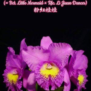 Potinara Hsinying Pink Doll 'Pink Doll' BM/TOGA (Bct. Little Mermaid × Rlc. Li Jiuan Dancer)