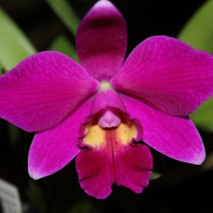 Cattleya Pumistans 'CT-Little Red' (pumila × praestans)