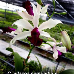 Myrmecocattleya HKN Yen's Devotion (Myrmecophila thomsoniana × Cattleya violacea)