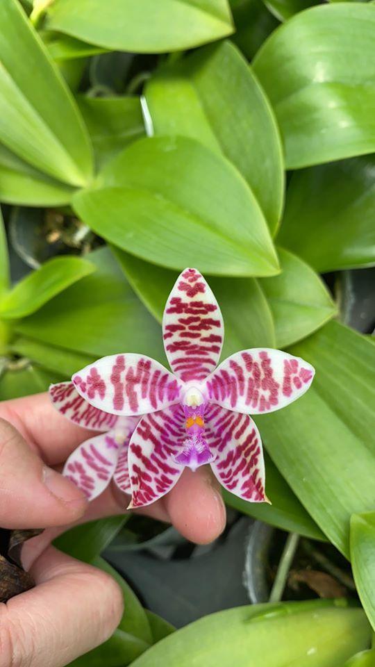 Phalaenopsis (amboinensis x mariae) x hieroglyphica