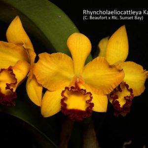 Rhyncholaeliocattleya Kat E-Sun 'Taiyoung No. 3' (Cattleya Beaufort x Rhyncholaeliocattleya Sunset Bay)