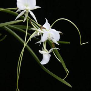 Angraecum Longiscott (Angcm. longicalcar x Angcm. Scottianum)