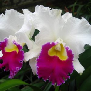 Cattleya Orglade's Grand 'Tian Mu' (C. Mildred Rives x C. Persepolis)