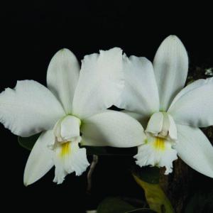 Cattleya violacea f. alba