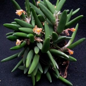 Dendrobium prenticei