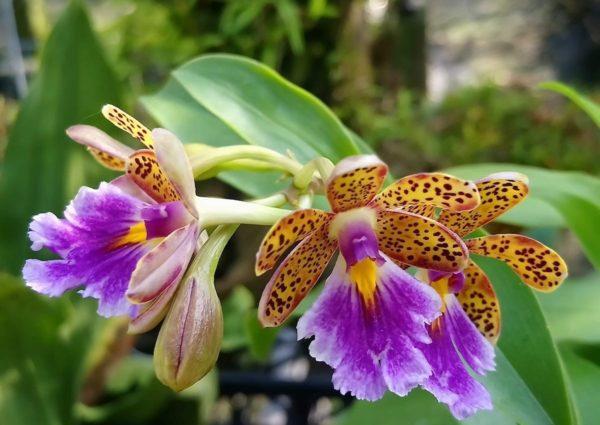 Epidendrum wallisii x pseudepidendrum aniana