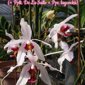 Paraphalanthe Frida (Pplt. De La Salle × Pps. laycockii)