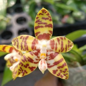 Phalaenopsis Aber Ambo 'Bill' (Phal. Chee Meng's Gold x Phal. Amboinensis)