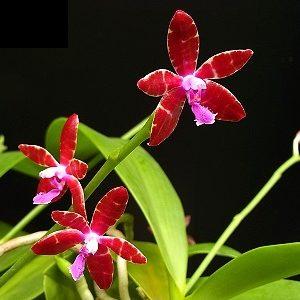 Phalaenopsis bastianii 'Red'