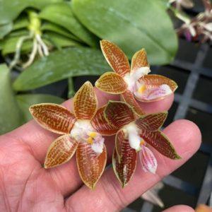 Phalaenopsis Corning-Ambo (corningiana x amboinensis)