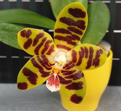 Phalaenopsis David Lim (Phal. amboinensis x Phal. Gigantea)