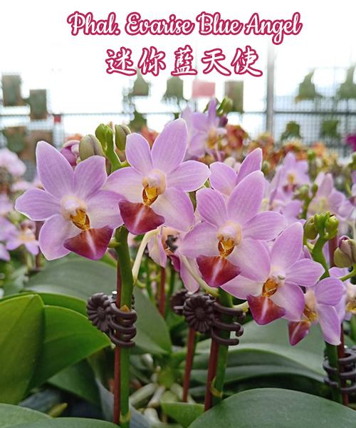 Phalaenopsis Evarise Blue Angel (Purple Martin x lobbii)