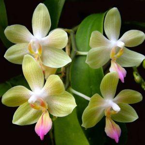 Phalaenopsis javalin (P.lindenii x P. javanica)