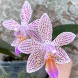 Phalaenopsis lindenii x maculata