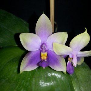 Phalaenopsis Samera var. blue