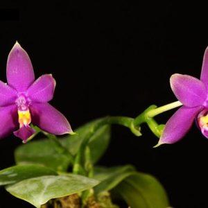 Phalaenopsis Samera x violacea var. indigo blue