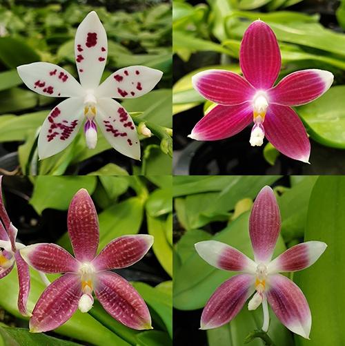 Phalaenopsis speciosa 'red' x 'blue'