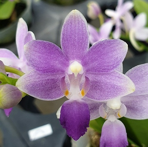 Phalaenopsis Summer Rose 'Blue Star' (Kenneth Schubert x equestris)