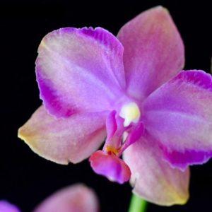 Phalaenopsis Taisuco Jasper (Phal. Sogo Medal x Phal. Pulcherrima)