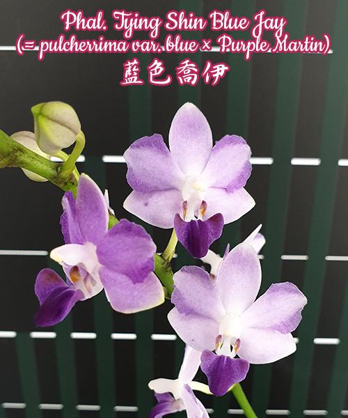 Phalaenopsis Tying Shin Blue Jay (pulcherrima var. blue x Purple Martin)