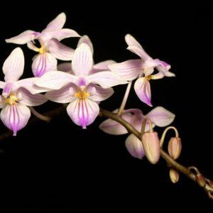 Phalaenopsis Venus x Phalaenopsis lindenii