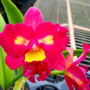 Sophrolaeliocattleya Chaveenum Beauty × Pot. Appha Plas Gold