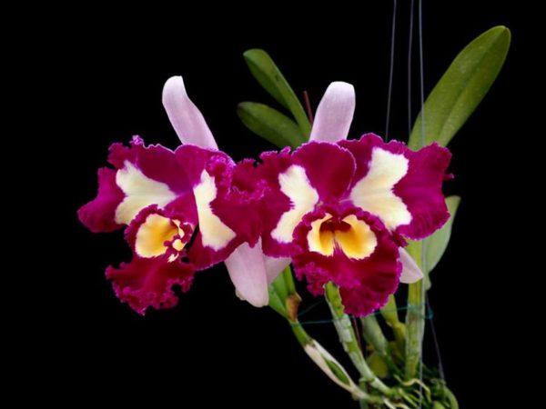 Rhyncholaeliocattleya Chinese Beauty