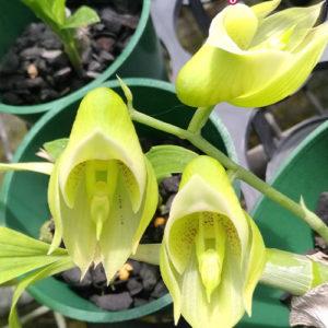 Catasetum × wendlingeri