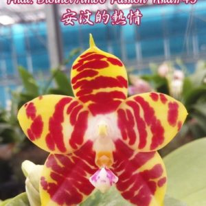 Phalaenopsis Brother Ambo Passion 'Hsia#49'