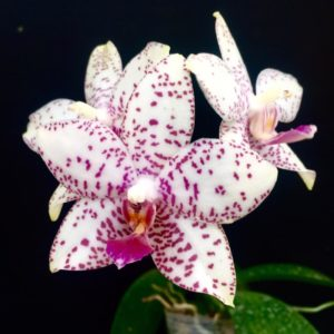 Phalaenopsis Brother Prince 'Hai Tony'
