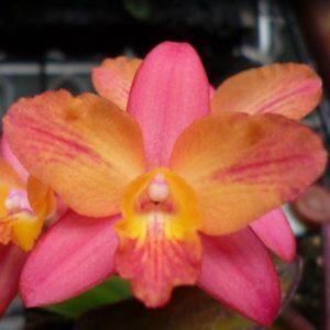 Cattleya ((C. Pink Splash x C. cernua) x C. milleri) 'C.T. Peach River'