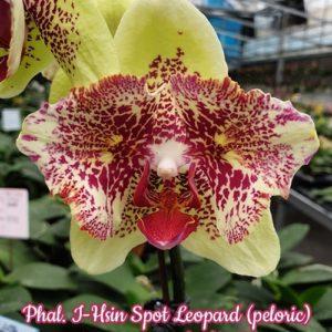 Phalaenopsis I-Hsin Spot Leopard (peloric)