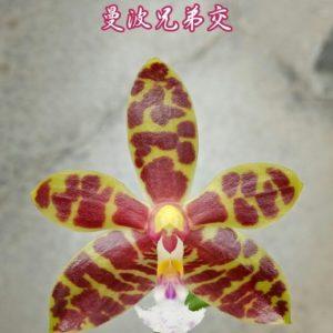Phalaenopsis Mambo (Phal. amboinensis x mannii)