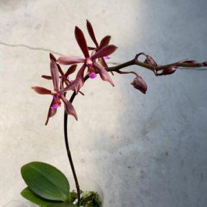 Phalaenopsis Marianne Schmoll (P. honghenensis x cornu-cervi)