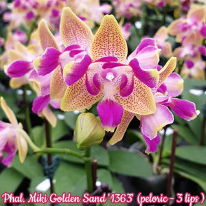 Phalaenopsis Miki Golden Sand '1363' (peloric - 3 lips)