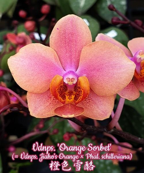 Vandaenopsis Orange Sorbet (Vandaenopsis Jiaho's Orange x Phal. schilleriana)