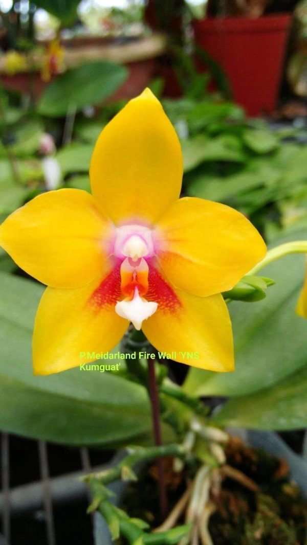 Phalaenopsis Meidarland Firewall (Phal. LD's Bear King x Meidarland Red Sun)