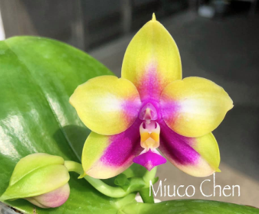 Phalaenopsis Miro be Queen '913-1'x LD Double Dragon '915' Mainshow