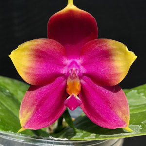 Phalaenopsis Summer Dance Queen 'flame' Mainshow