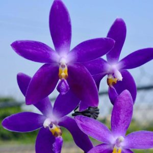 Phalaenopsis YangYang Blueberry 'Mainshow'