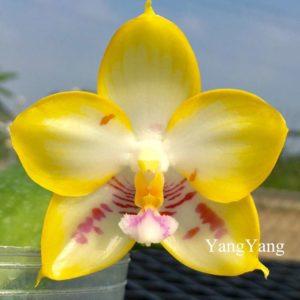 Phalaenopsis YangYang Love 'Love' Mainshow